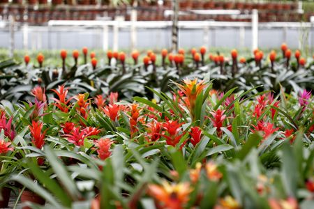 epiphyte: Bromeliads in bloom in a greenhouse
