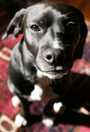 Black dog on  Persian rug