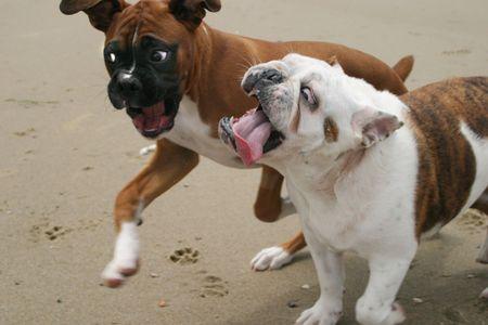 Bulldog and Boxer playing at the beach photo