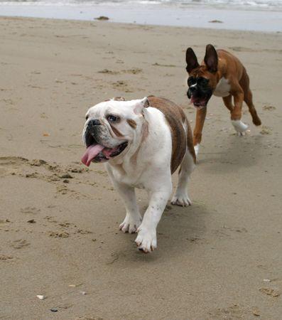 Bulldog and Boxer running at the beach