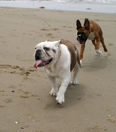 Bulldog and Boxer running at the beach
