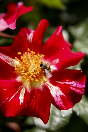 Honey bees gathering pollen and pollenating flowers Stock Photo - 12745489