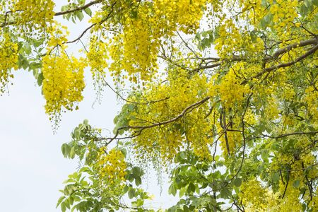 bracing: Golden shower or Cassia fistula Stock Photo