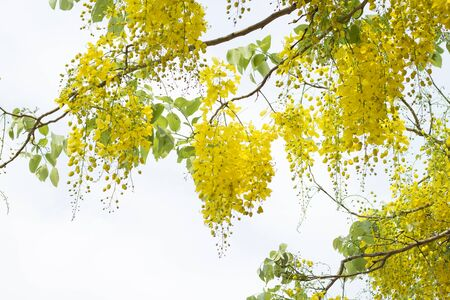 fistula: Golden shower or Cassia fistula Stock Photo