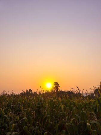 champ de mais: Coucher de soleil sur le champ de maïs
