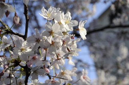 beautiful flower of white Sakula in Japan Stock Photo - 11193859