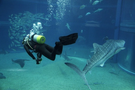 Diver swimming with big shark in ocean park photo