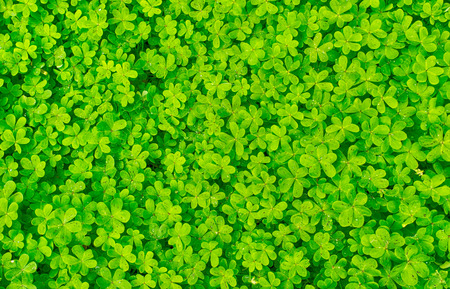 green clover background with micro water drops Stock Photo