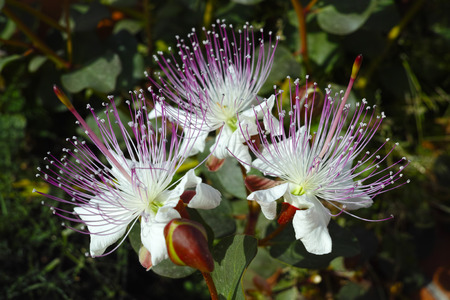 Three caper flowers under sunlight