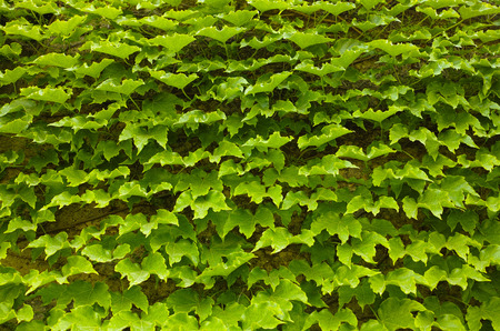 Green ivy background, perspective view Stock Photo