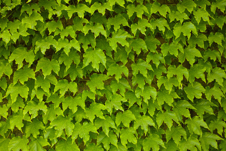 Green ivy background photo