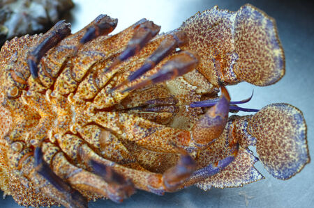 Scyllarus Arctus crustacean detail shot