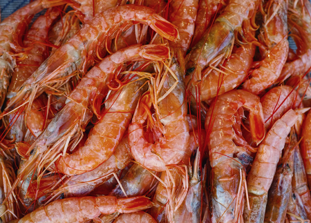 group of red sea shrimps
