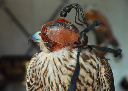 trained: beautiful trained falcon with mask