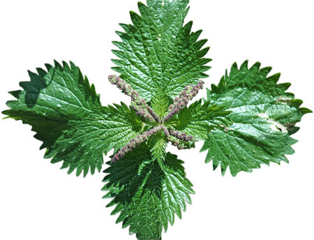 Nettle whit flowers on white background photo