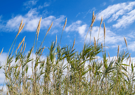Reeds in the wind under blue cloudy sky Stock Photo