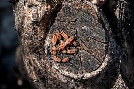firebug: Group of Pyrrhocoris apterus on wood
