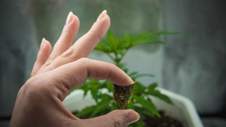 The person holds in his hands medical marijuana buds. Marijuana is medical. Cannabis plant on the background