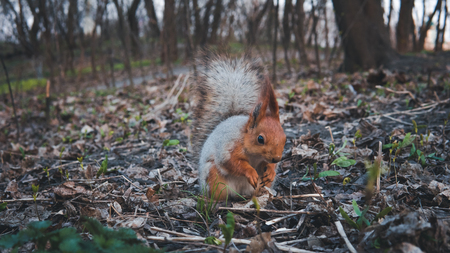 Wild squirrel eating nuts in the forest, close-up. Beautiful squirrel with fluffy tail Banco de Imagens