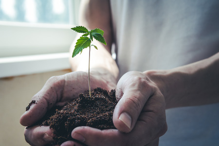 The young person hold in his hand sprout of medical marijuana. Cannabis plant growing indoor