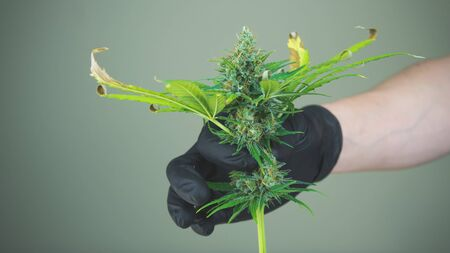 The person in the black gloves are trimming medical marijuana buds. Fresh harvest of cannabis plant. Cannabis is a concept of herbal medicine