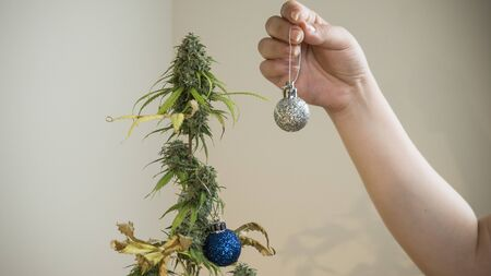 The young person decorates medical marijuana plant growing indoor. Concept of alternative Christmas tree, herbal medicine
