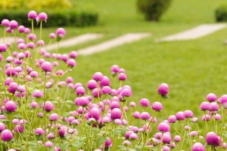 Globe amaranth flower  photo