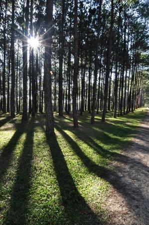 Light shines through pine forest   photo