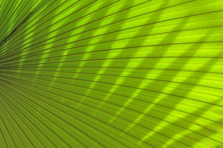 Tropical palm leaf   in thailand  photo