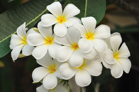 Tropical flowers frangipani in Thailand  photo