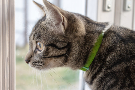 Gray striped cat sitting and looking out of the window. Stock Photo