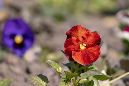 Orange flower of pansy Viola close up growing in a flower bed. Zdjęcie Seryjne