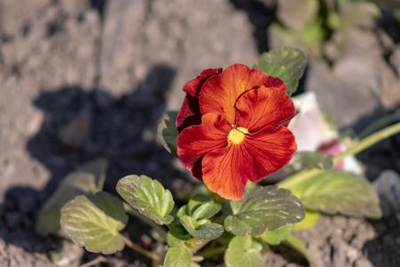 Orange flower of pansy Viola close up growing in a flower bed. 版權商用圖片