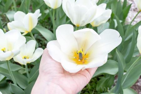 A hand holding white tulip flower in spring garden.