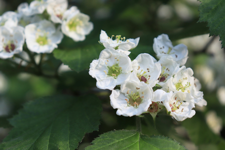 Common hawthorn branch, Crataegus monogyna, oneseed hawthorn, single-seeded hawthorn with tiny white flowers in the spring with a foliage background.
