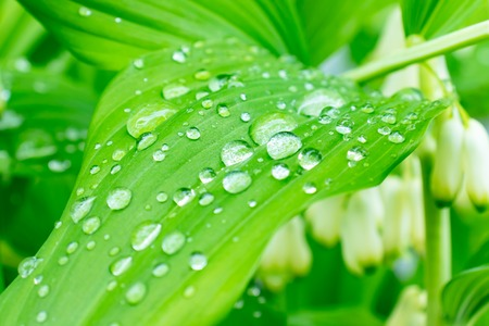 Water drops on green leaves after rain, green foliage natural organic garden background.