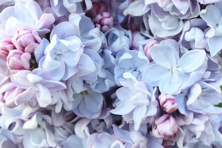 Tender delicate light blue lilac flowers and buds close up as a background. Stock Photo