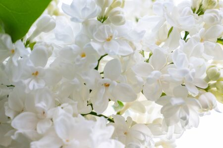 Tender delicate white lilac flowers and buds in spring sunny day close up .
