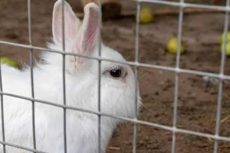 Domestic furry white farm rabbit bunny in cage at animal farm. Livestock food animals growing in cage.