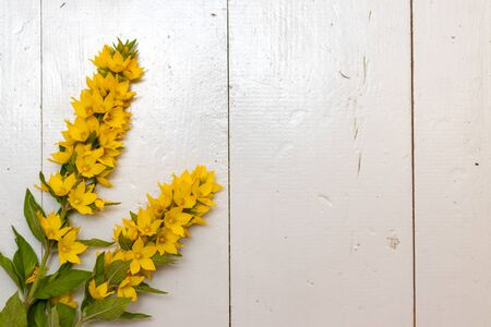 Flowers of yellow moneywort, Lysimachia nummularia on grey wooden background.