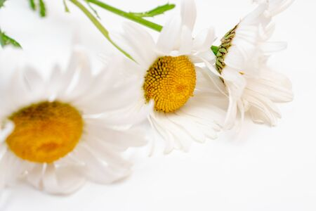 Beautiful camomile daisy flowers, medicinal herbs on white background.