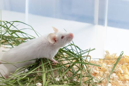 White albino laboratory mouse sitting in green dried grass, hay with copy space. Cute little rodent muzzle close up, pet animal concept.