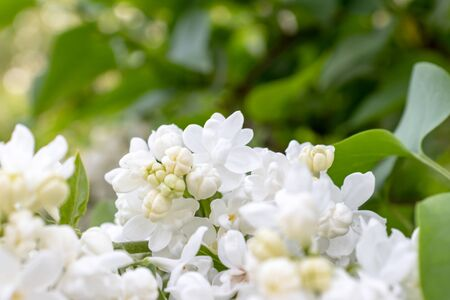 Tender delicate white lilac flowers and buds close up on green foliage background, copy space.