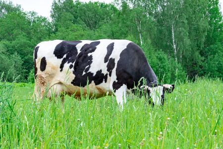 Holstein black and white spotted milk cow standing on a green rural pasture, dairy cattle grazing in the village.