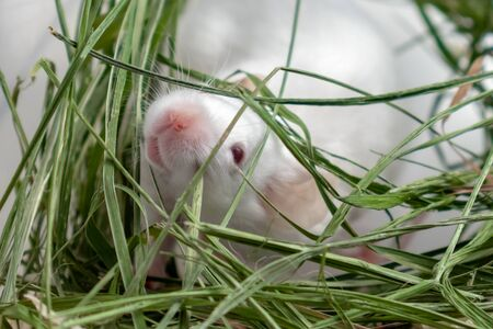 White albino laboratory mouse sitting in green dried grass, hay. Cute little rodent muzzle close up, pet animal concept. Stok Fotoğraf