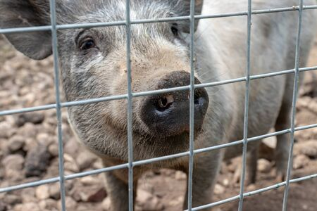 Black cute pig with a black snout nose behind the metal mesh fence in the country farm.