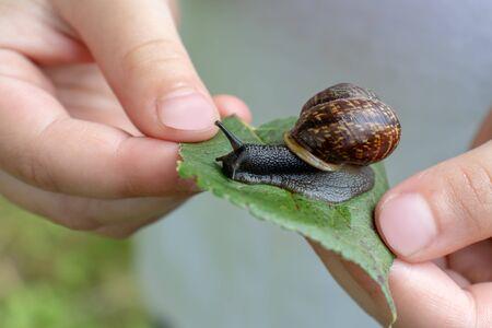 A child holding an edible snail Fructicicola fruticum on green leaf, summer time. Stok Fotoğraf