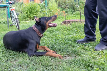 Big black and tan doberman pinscher with cut ears lying on the grass near its owner, dog handler.