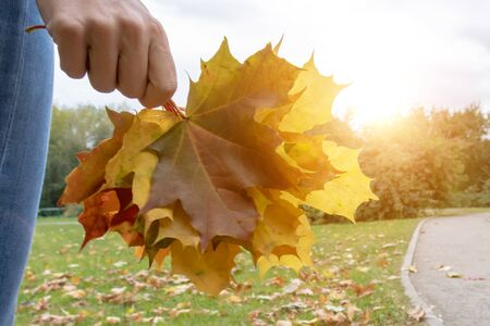 A woman holding colorful maple leaves in hand in sunny autumn park during indian summer.