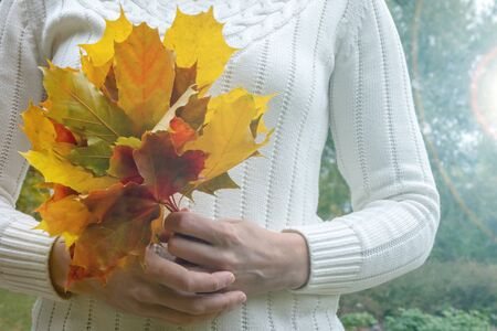 A woman holding colorful autumn leaves of the sugar maple, acer saccharum - major source of sap for making syrup.